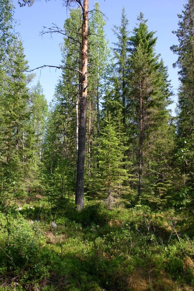 Eri-ikäisrakenteinen metsä