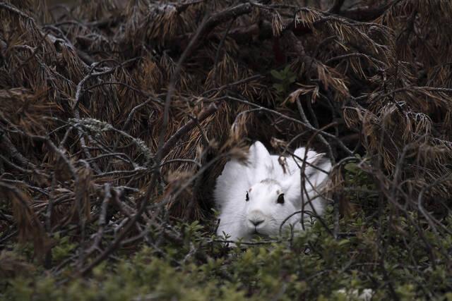 Metsäjänis piiloutuneena
