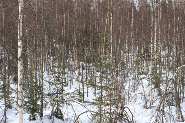 Hoitamattomassa taimikossa kasvatettavat puut kärsivät