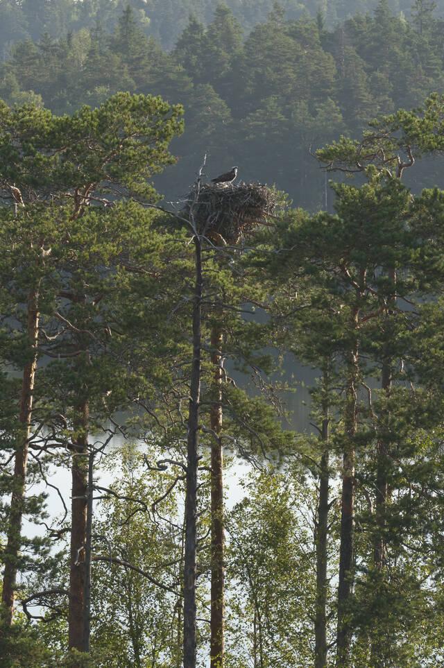 Kalasääski puun latvassa