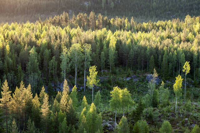 Metsämaisema aamuauringon valossa korkealta katsottuna, keskellä nuori taimikko.