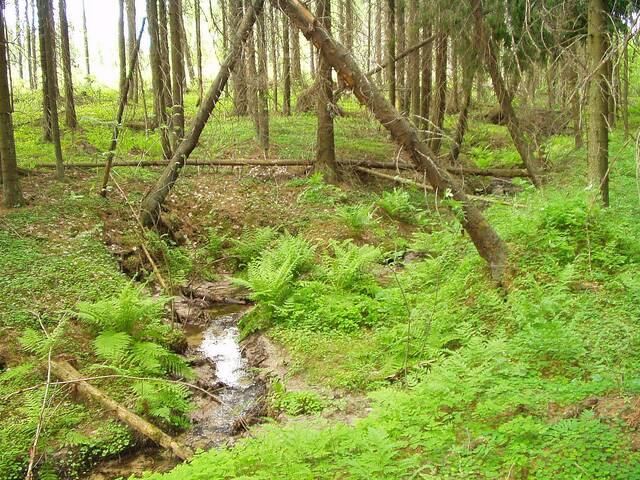 Luonnontilainen puro kuusikossa