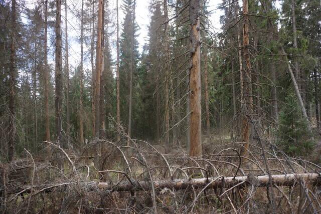 Kirjanpainajan aiheuttamia tuhoja varttuneessa metsikössä