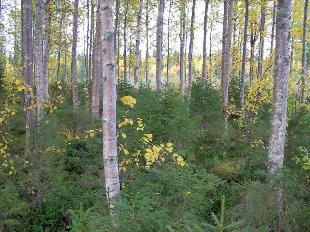 Koivuvaltainen metsä, jossa runsaasti kuusialikasvosta