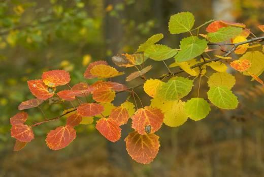 Haavan lehtiä syksyllä