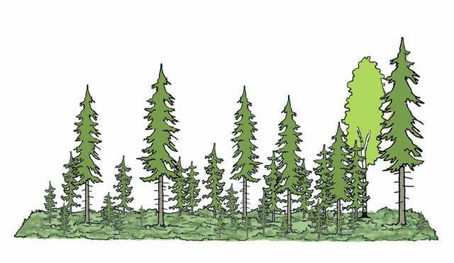 Jatkuvan kasvatuksen metsä piirroskuvana