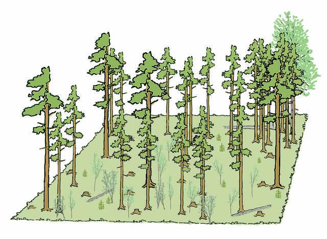 80 vuotta mäntyvaltaisen metsän siemenpuuhakkuusta piirros