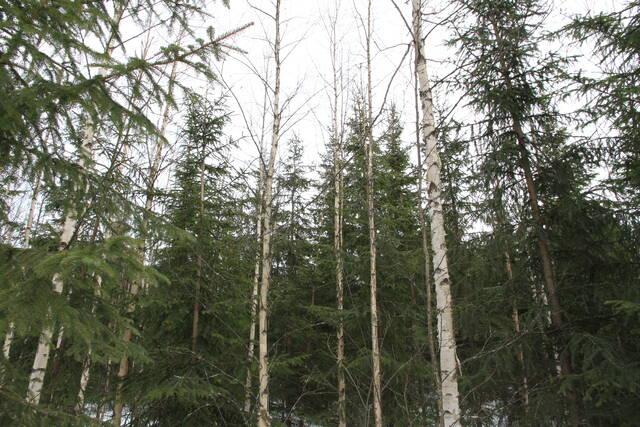 Ylispuusto häiritsee kasvatettavaa kuusikkoa