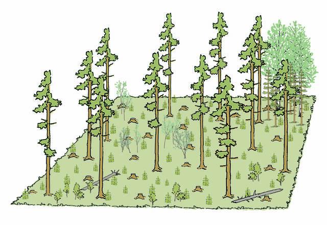 10 vuotta mäntyvaltaisen metsän siemenpuuhakkuusta piirros
