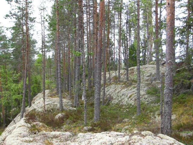 Kalliolla kasvavaa männikköä
