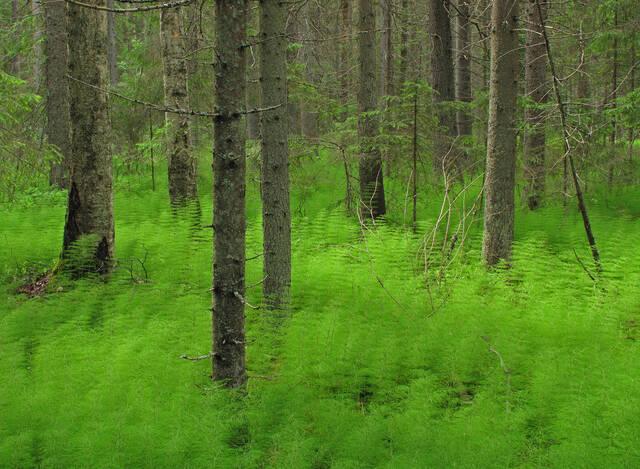 Metsäkorteen valtaama korpi