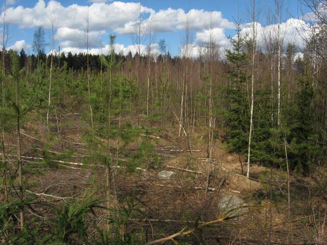 Perkausjälkeä männyntaimikossa, johon jätetty myös lehtipuuta