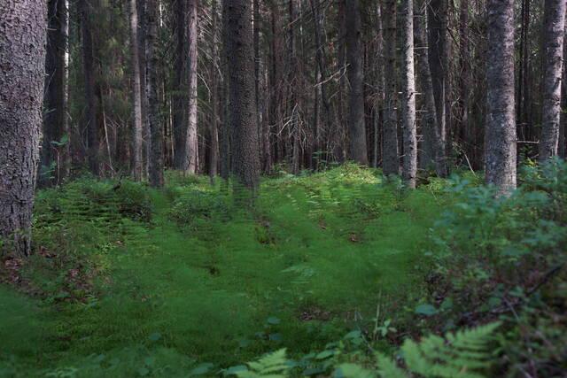 Rehevä metsäkortekorpi