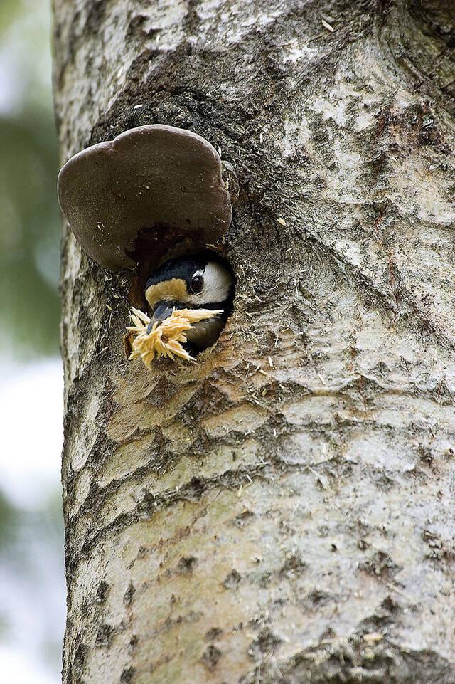 Tikka puussa