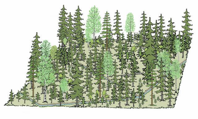 Turvemaan kuusivaltainen metsä ennen poiminta- ja pienaukkohakkuuta piirros
