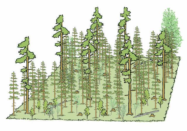 40 vuotta mäntyvaltaisen metsän siemenpuuhakkuusta piirros